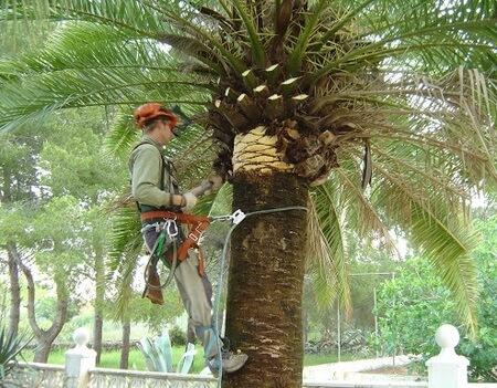 poda de palmeras baratas chiclana de la frontera